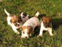 Pui de jack russell terrier/jack russel terrier!!