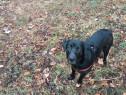Labrador negru monta