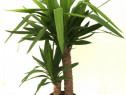 Palmieri Yuca, Cycas, Phoenix, Lamai, Ficus, Portocali Ficus