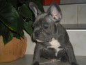 Bulldogei francezi blue
