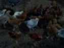 Găini rasa-mixta kabir