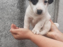 Pui mascul jack russell russel