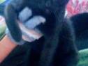 Adoptie Pisicuta Sheeba, metis bombay