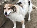 Lassie, metis ciobanesc adoptie