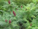 Otetar rosu (Rhus typhina)-arbore ornamental 20+10 gratis