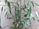 Plantă de apartament foarte frumoasă înaltă 2  metri