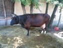 Vacă gestantă