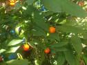 Seminte mărul lui adam