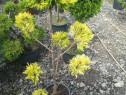 Bonsai din tuia și chiparos