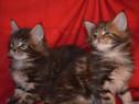 Pisici Maine Coon Bucuresti,Iasi,Oradea,Brasov,Galati