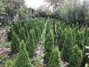 Plante ornamentale pt gradina, tuia