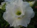 Puiuti Trandafir de Desert ANATA