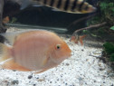Ciclide severum gold