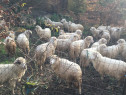 140 oi Țurcane