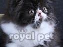 Pisici persane bucuresti