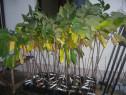 Asimina Triloba, Paw Paw, soiuri altoite, 5 ani, 120-180 cm