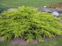 Ienupar auriu (Juniperus pf. Pfitzeriana Aurea)