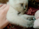 British shorthair blue point