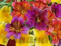 2000 Seminte Salpiglossis sinuata grandiflora