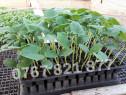Rasad de castraveti tip cornichon si alte rasaduri legume