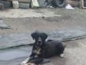 Câine de pază