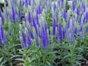 Veronica albastra (Veronica spicata Ulser Dwarf Blue)