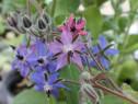 Seminte Limba mielului-medicinala pt. salate, decorativa/2gr