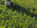 Beagle cu Pedigree pentru monta