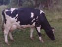 Vaca Holstein 7 ani pentru abator sau ținut