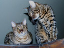 Pisicute bengaleze bucuresti