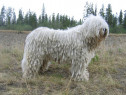 Komondor, pasaport international, microcip