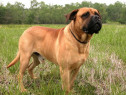 Bullmastiff, pasaport international, microcip