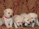 Labrador Retriever, par scurt, aurii, genetic deosebit