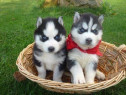 Husky Siberian, ochi albastri, genetic deosebit