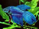 Pesti Exotici Betta Fish Acvariu