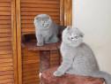 Pui pisică Scottish Fold Rasă pură certificată Vârstă 3 luni