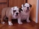 Bulldog/buldog englez