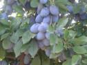 Tuica din prune soiul annas path