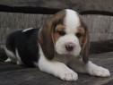 Pui de beagle!!