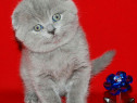 Cel mai frumos cadou de Sărbători! Scottish Fold blue