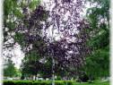Mesteacan rosu (Betula pendula Royal Frost)