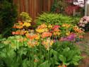 80 Seminte Primula Candelabra - mix culori
