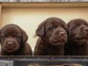 Pui de labrador retriever labrador retriver ciocolatiu