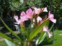 Leandru roz 120 - 160cm