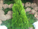 Tuia smaragd