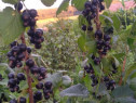 Palinca din coacaze negre