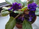 Flori Violete ( inflorite )