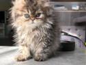 Pisica persana golden shaded
