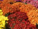 Crizanteme butasi 20+10 gratis