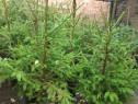 Molid verde la ghiveci 70-130 cm